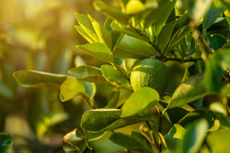 limonero dando limones color limon